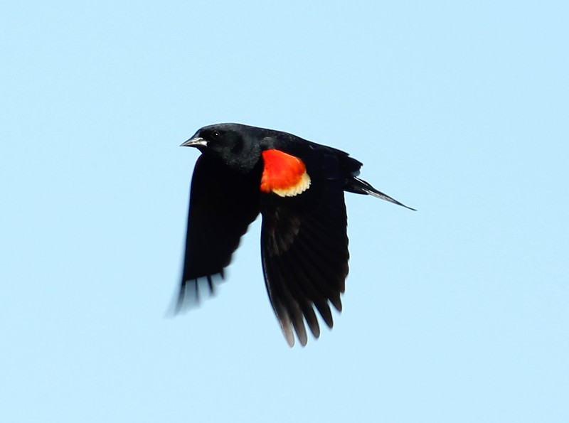 Red-Wing Black Bird at Willard's Island