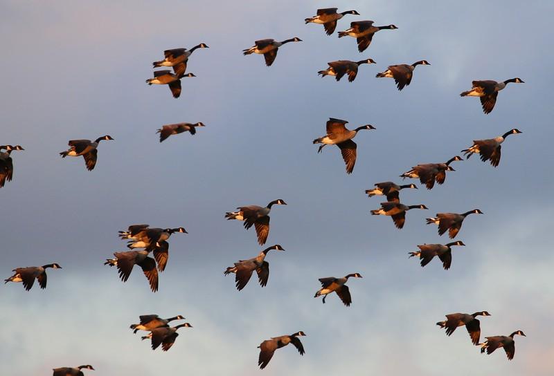 Canadian Geese inbound at West Beach