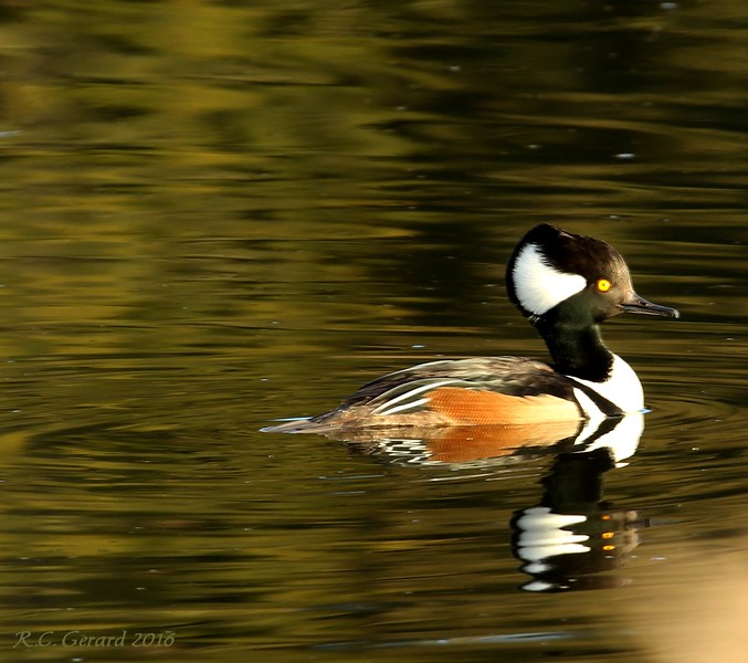 Hooded Merganser in West Beach Pond