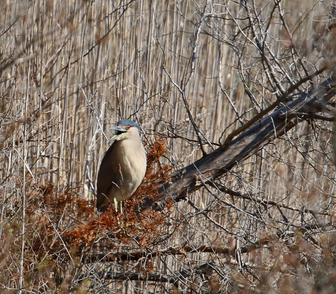 Black-Crowned Night Heron - West Beach Wetland