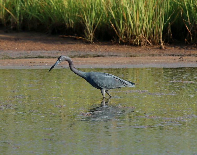 Little Blue Heron - West Beach