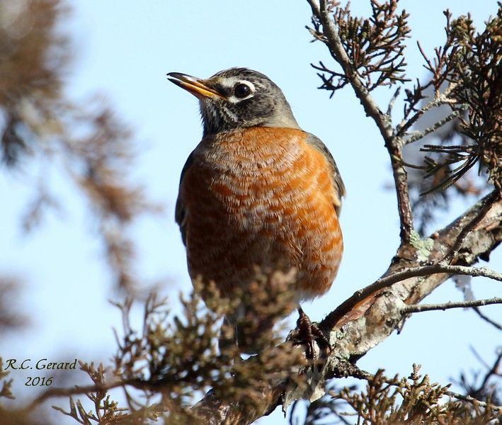 American Robin at West Beach