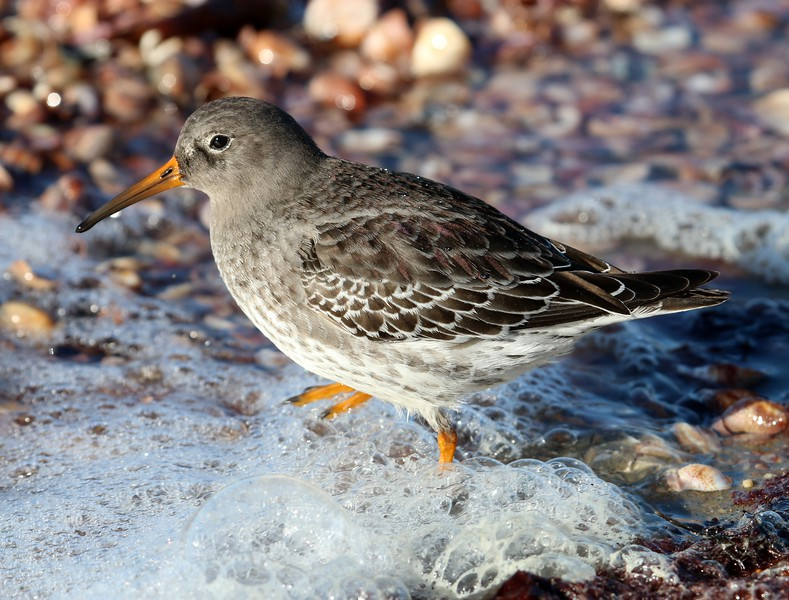 Purple Sandpiper at Meigs Pt. jetty