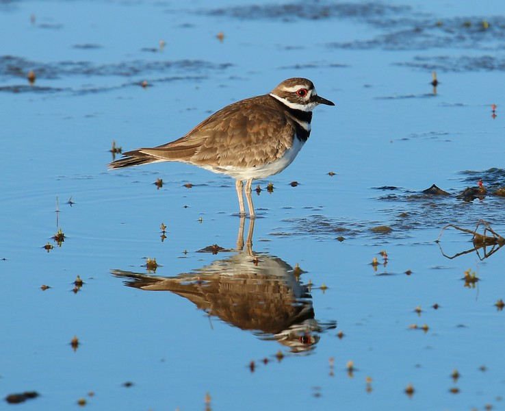 Killdeer in Meigs Pt. Salt marsh