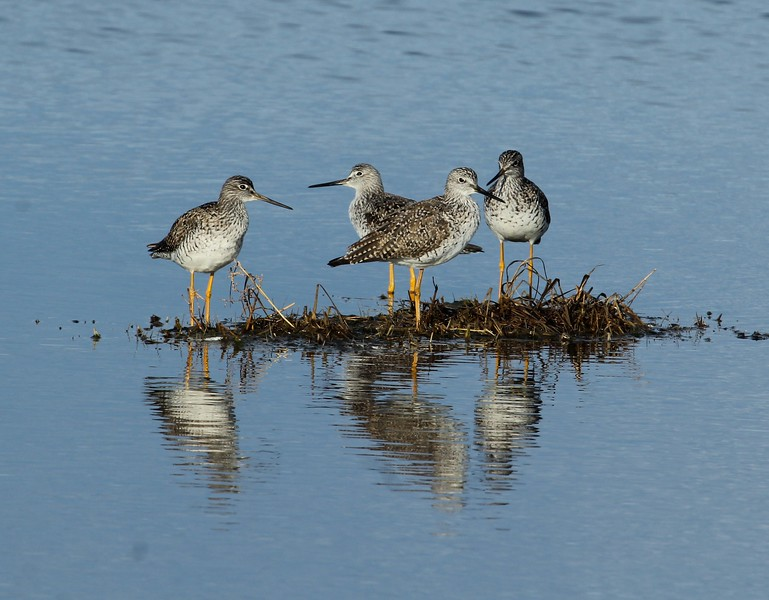 Greater Yellowlegs at Meigs Point.