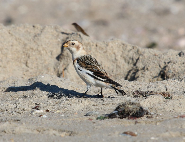 Snow Bunting at Meigs Pt.