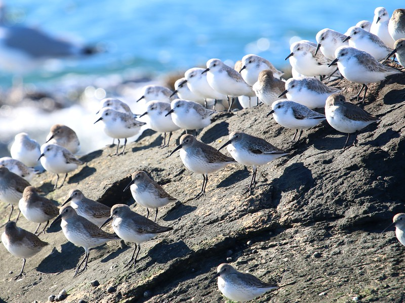 Sanderlings & Dunlin at Meigs Pt.