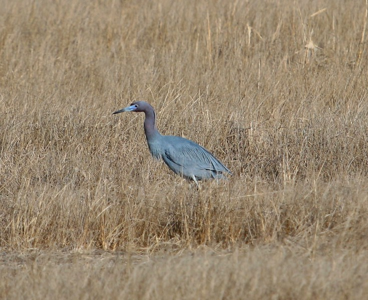 Little Blue Heron in Meigs Point Salt Marsh