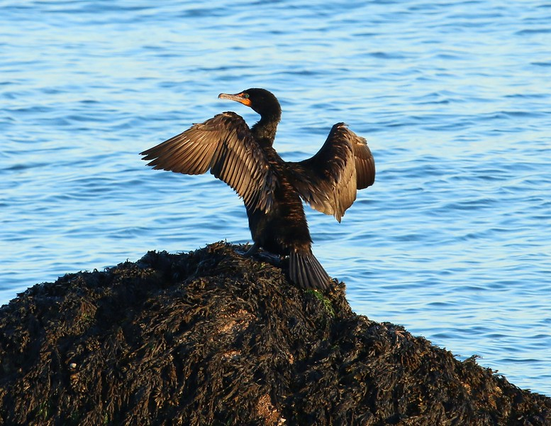 Cormorant drying wings at Meigs Point