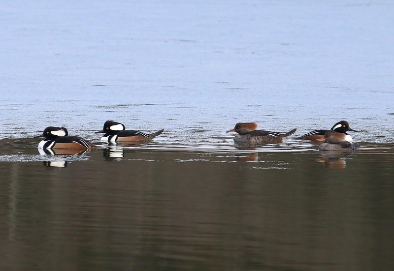 Hooded Mergansers at West Beach Pond