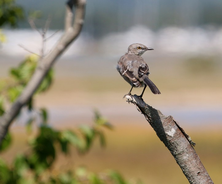 Mockingbird at Meigs Point