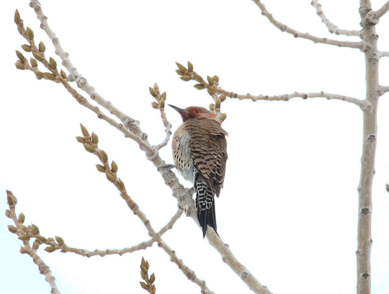 Northern Flicker along access Road
