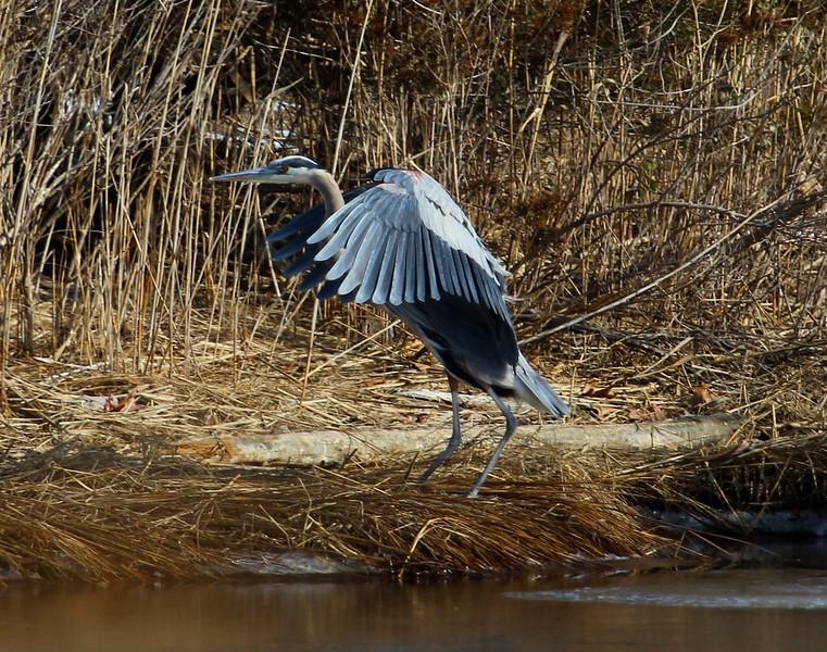 Blue Heron at West Beach Wetlands