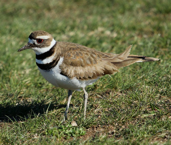 Killdeer at Meigs grass lot