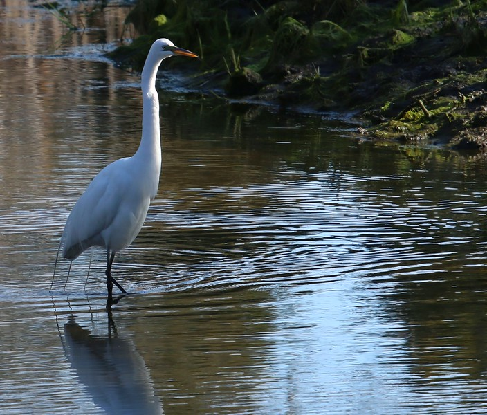 Egret wading in the Campground stream