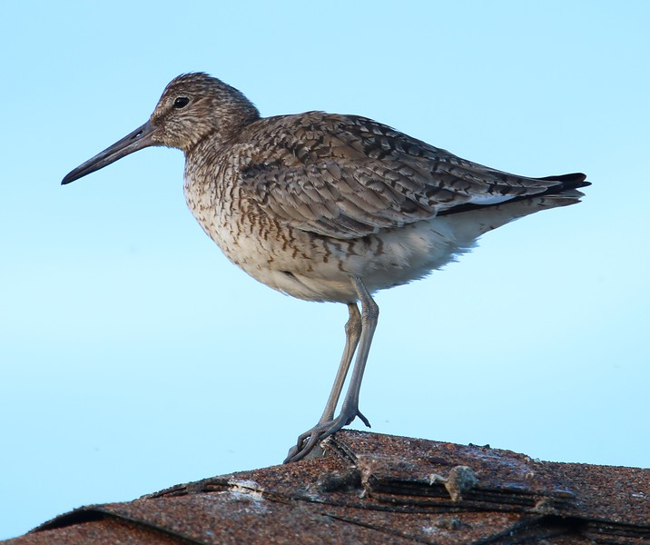 Willet - West Beach