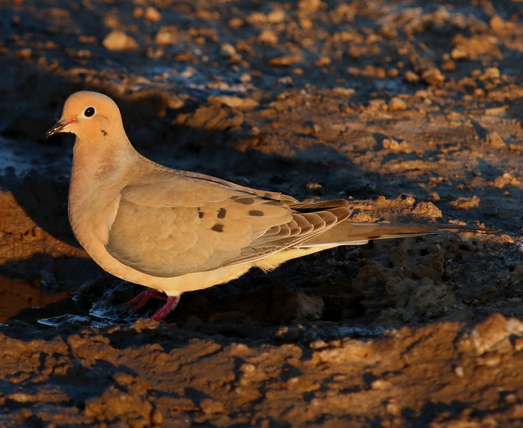 Morning Dove at Sunset