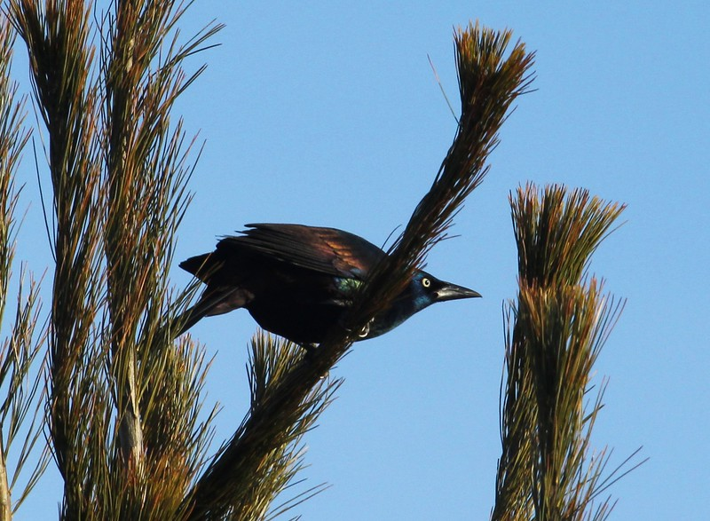 Grackle ready to go airborne in the campgrounds 2-27-2016