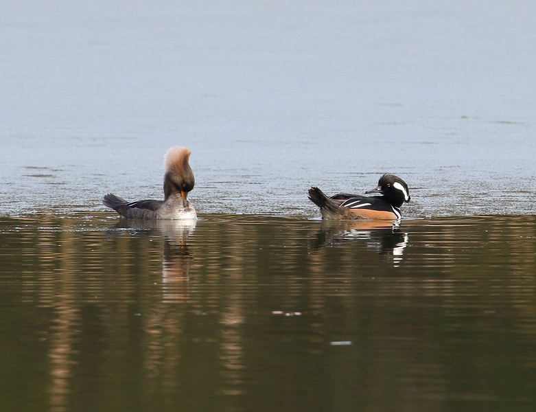 Hooded Mergansers at West Beach Pond