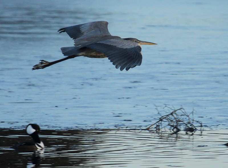 Blue Heron at West Beach Wetlands