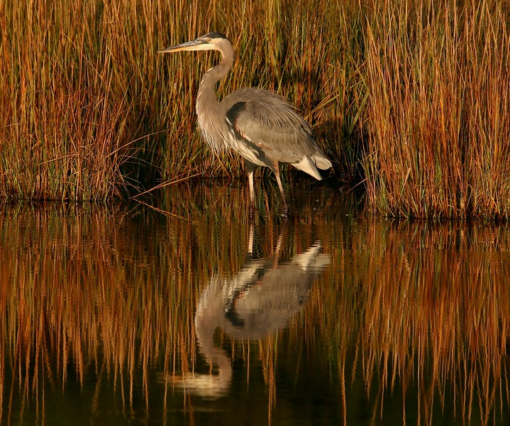 Great Blue Heron - West Beach wetland