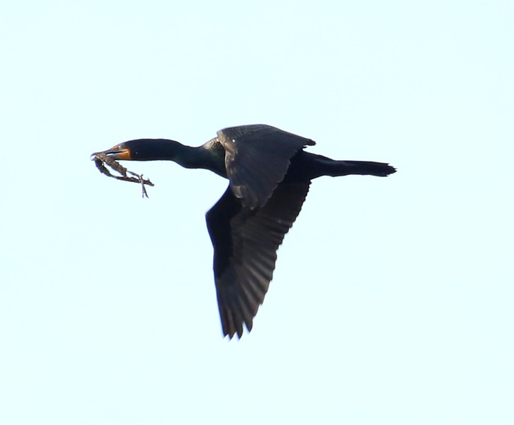 Cormorant over West Beach