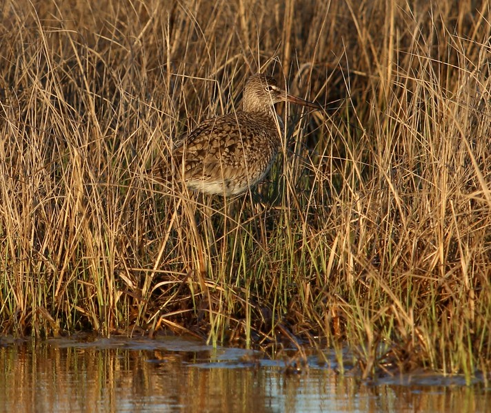 Willet in Meigs Pt. salt marsh