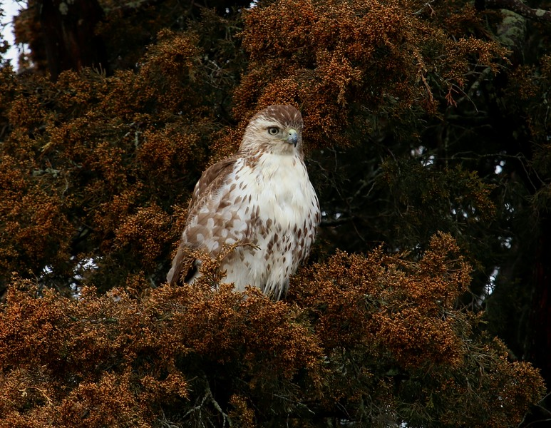 Red Tail Hawk 4/1/17
