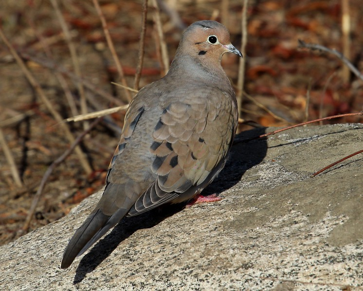 Mourning Dove at Meigs Point