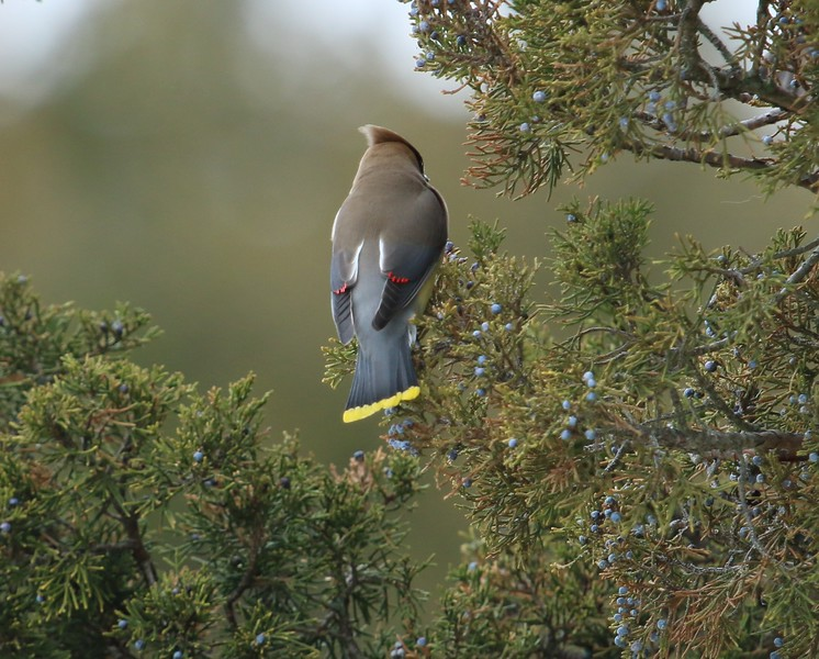 Cedar Waxwing at Rotary