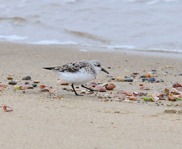 Semipalmated Sandpiper - West Beach