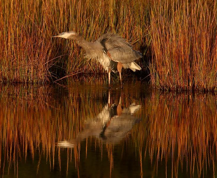 Great Blue Heron - West Beach wetland
