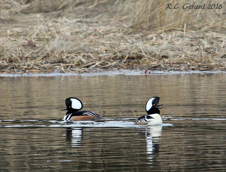 Hooded Merganser West Beach Wetland