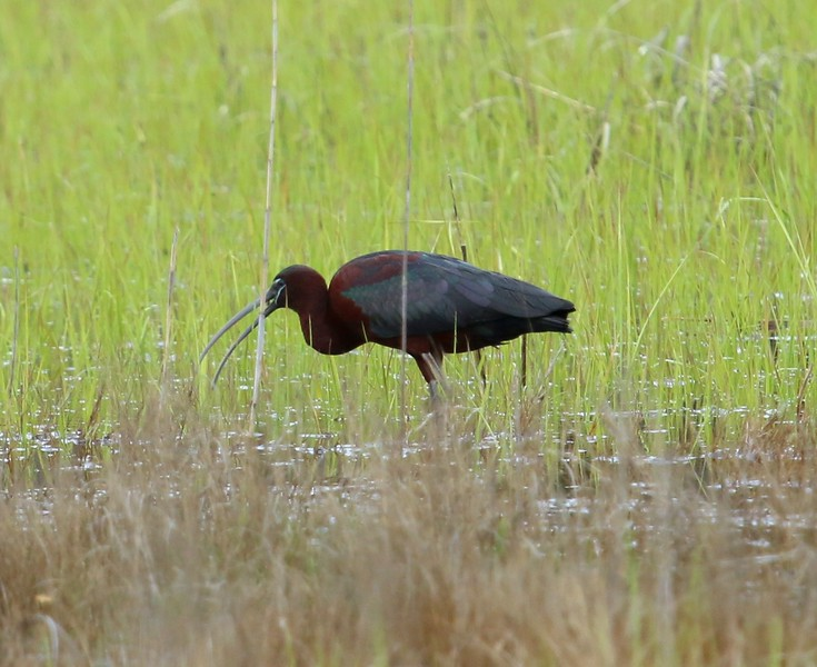 Glossy Ibis in campground wetland