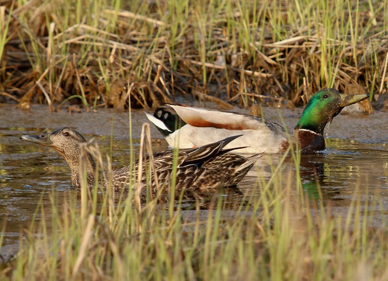 Pair of Mallards, West Beach Wetlands