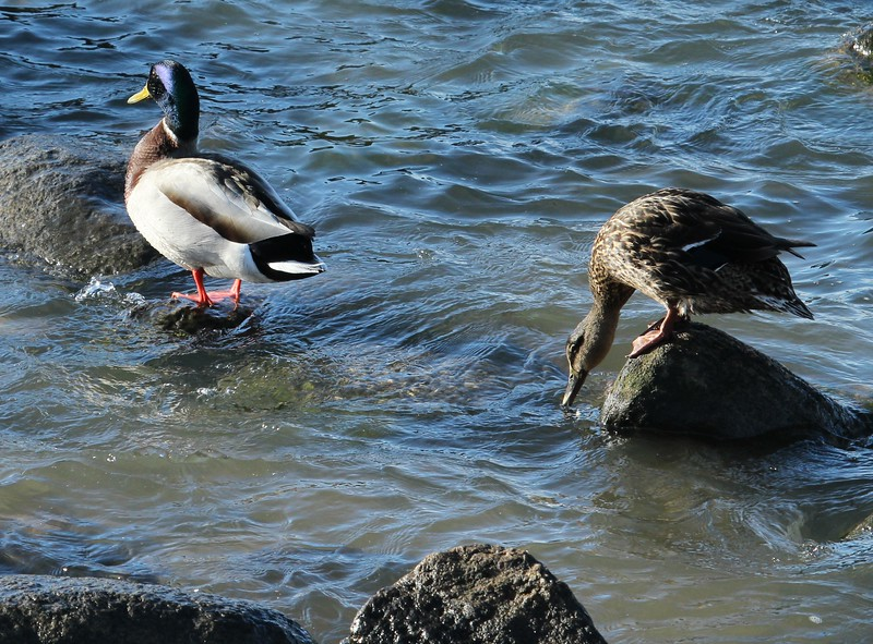 Mallards at Meigs Pt Overlook
