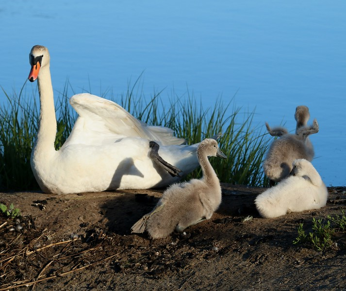Swan family - West Beach pond