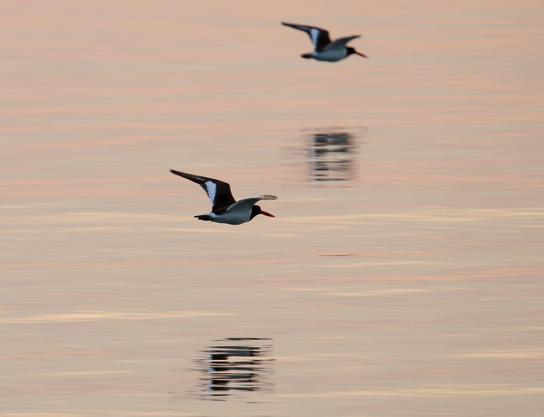 American Oystercatchers - West Beach