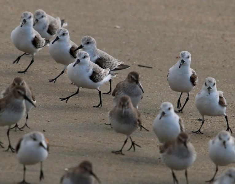 Sanderlings & Dunlins