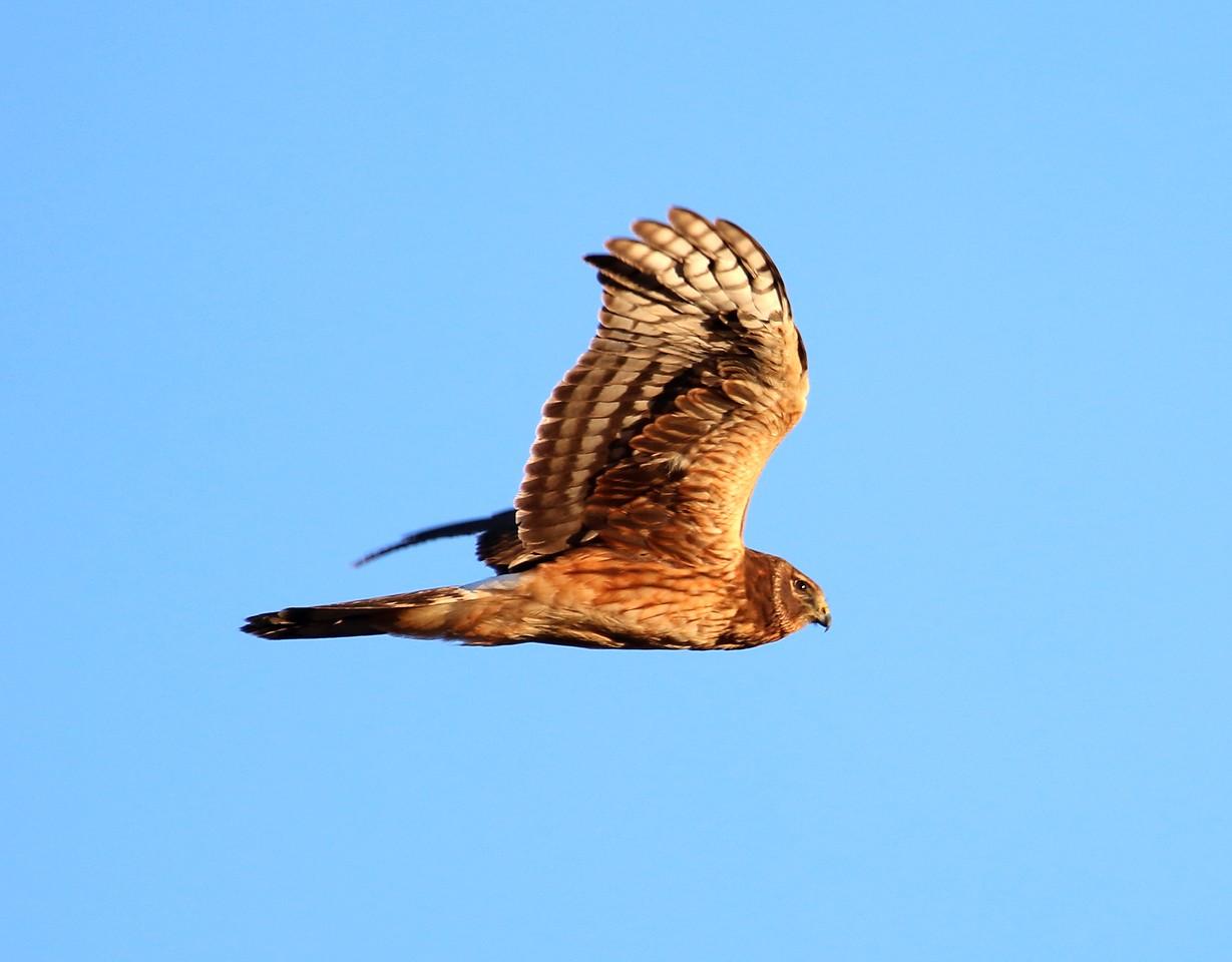 Harrier over the marsh