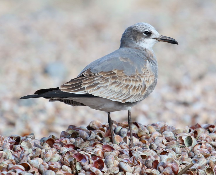Laughing Gull - 1st Winter
