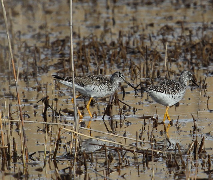 Lesser Yellowlegs at Meigs Point.