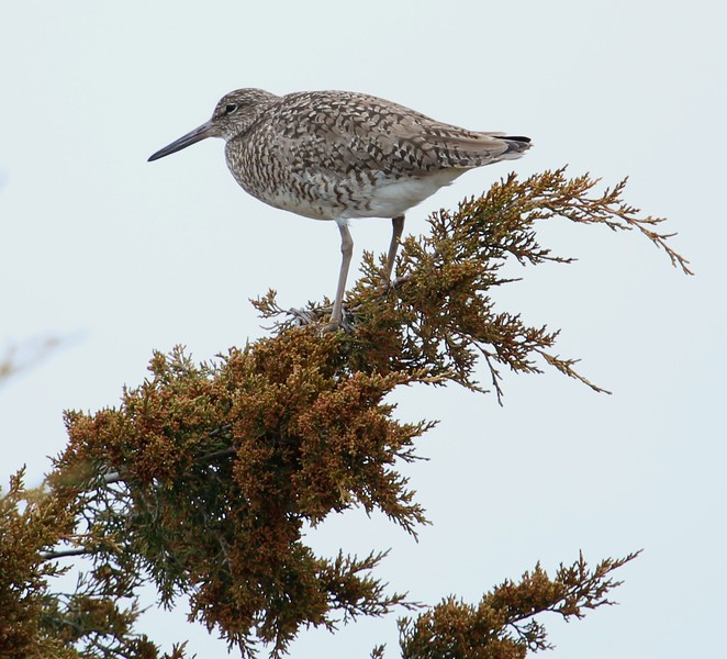 Willet in West Beach wetland