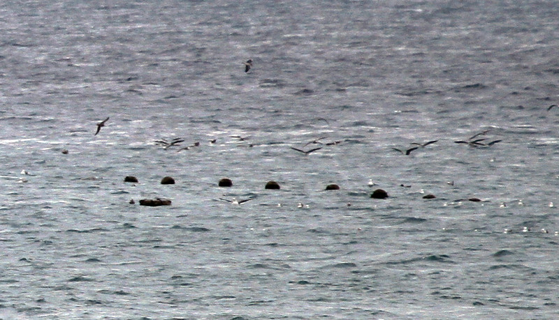 Terugasaki Beach - There were at least a couple hundred Streaked Shearwater visible from the beach. They may have been driven in by the nearby typhoon.