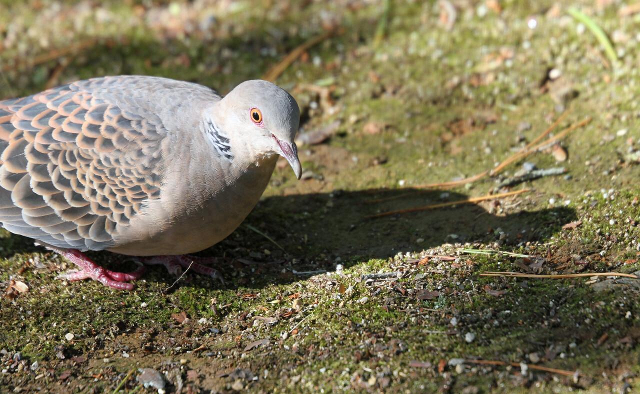 Kyoto Kinkakuji - Oriental Turtle Dove