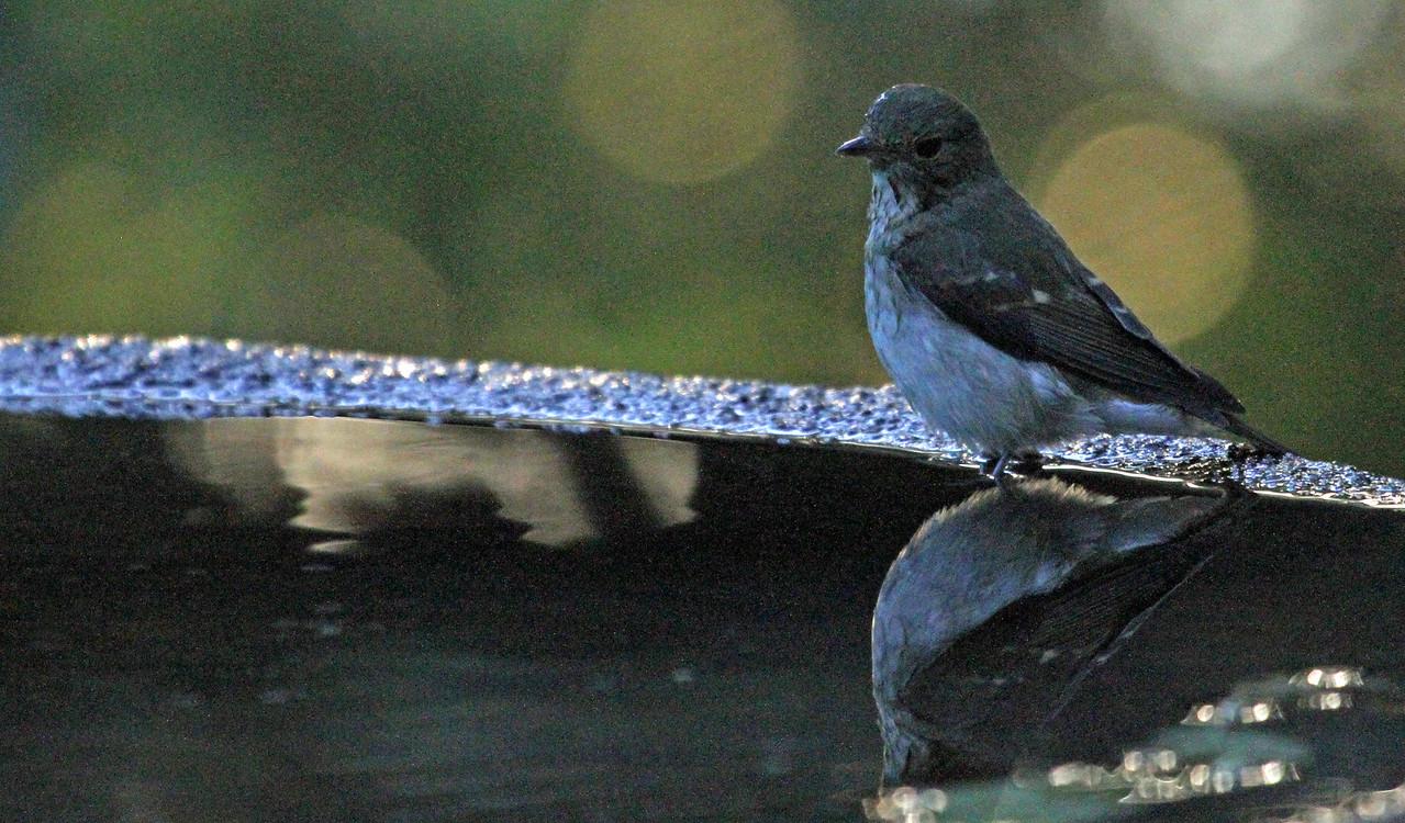 Gongen-yama - Narcissus Flycatcher (female)