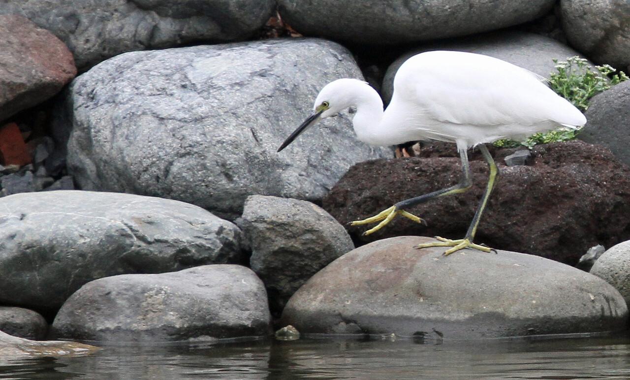 Hamarikyu Garden - Little Egret