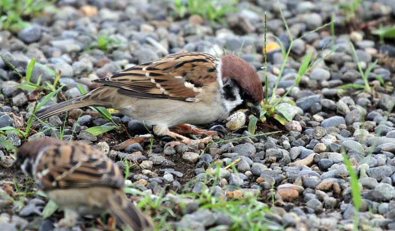Hamarikyu Garden - Tree Sparrow