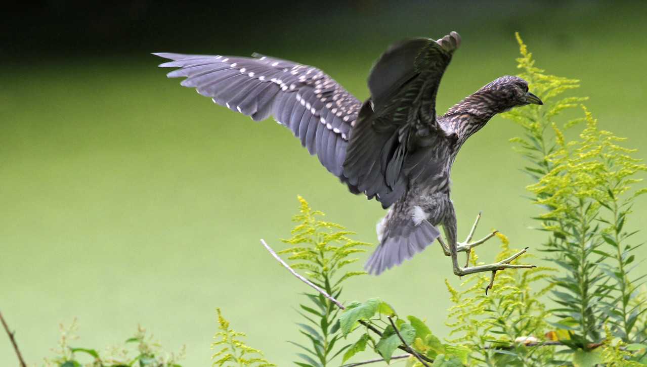 Hamarikyu Garden - Juvenile  Black-crown Night Heron