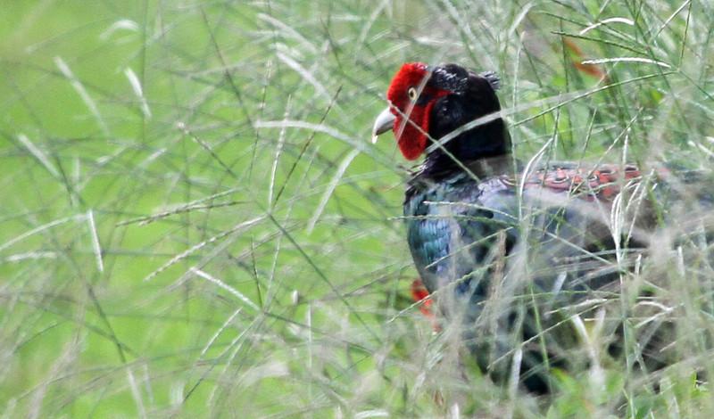 Oi Town - Male Japanese Green Pheasant